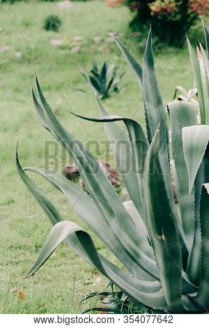 Beautiful Green Leaves Of The Agave Plant In The Spring In The Botanical Garden