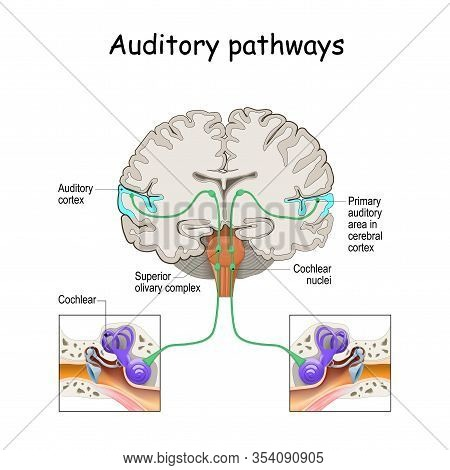 Auditory Pathways From Cochlea In Ear To Cortex In Brain. Sound Localization. Anatomy Of The Auditor