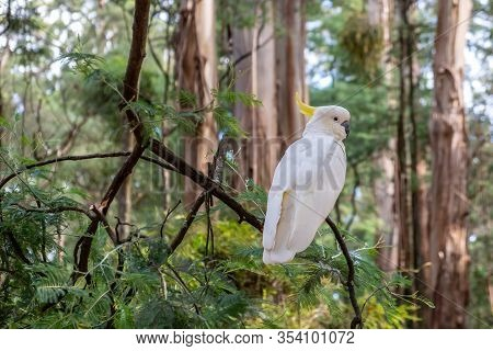 Sulphur Crested Cockatoo Perching On Tree Branch Against Blurred Forest Background In Australia