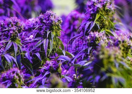 Purple Hue Maturing Indoor Recreational And Medical Marijuana Industry Plant With Visible Amber Pist