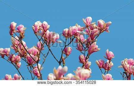 Magnolia Flowers In Spring Time.