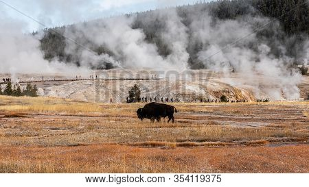 American Bison Inside Area Of Old Faithful, Famous Geyser Of Yellowstone National Park, Wyoming, Usa