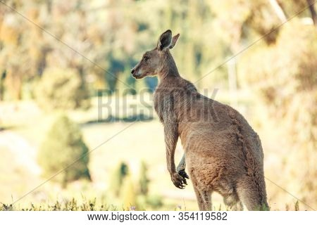 Australian Wildlife, Eastern Grey Kangaroo With Ears Pricked In Rural Bushland In Central West Of Ns