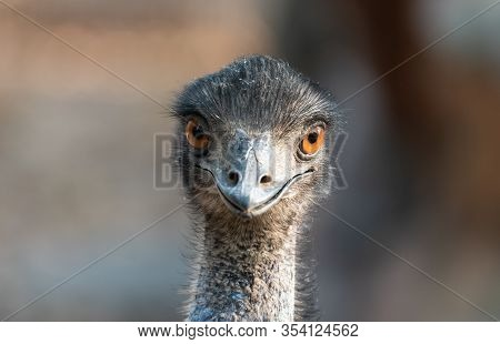 Close Up Of The Head Of An Emu