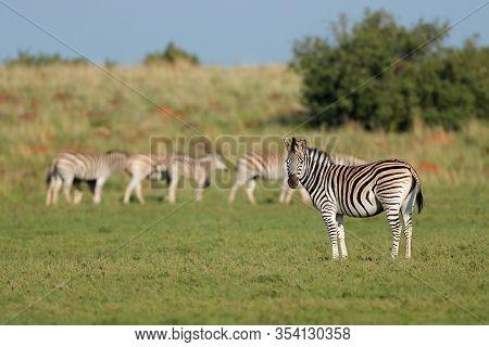 Herd of plains zebras (Equus burchelli) in natural habitat, South Africa
