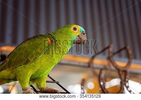 A Friendly Turquoise-fronted Amazon Parrot On A Perch In Front Of Horseshoes