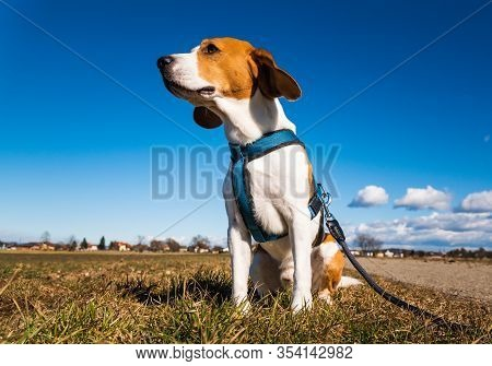 Beagle Dog On Rural Road. Sunny Day Landscape Copy Space . With Dog On A Walk.