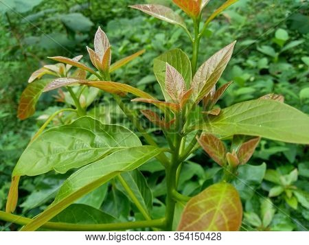 Green Young Avocado (persea Americana) Leaves In The Nature Background