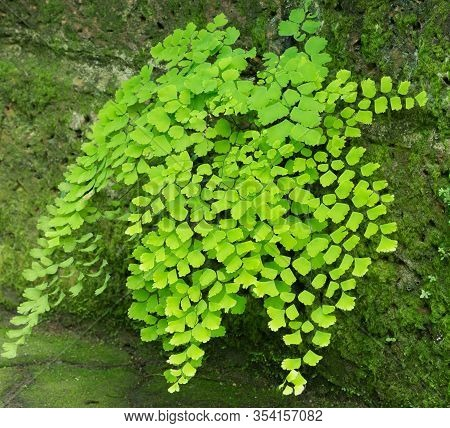 Fern Leaf In The Garden, Adiantum, Maidenhair Fern
