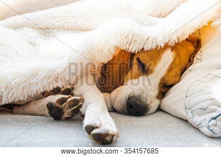 Adorable Beagle Dog Sleeps On A Sofa Under Blanket. Dog Bright Background. Canine Concept.