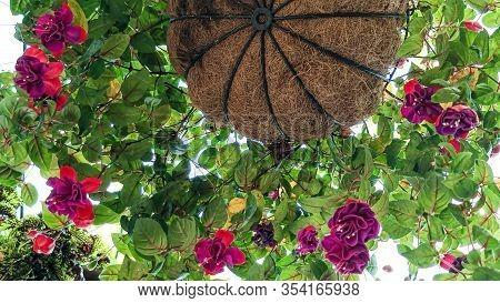 White-pink Bell Flowers Fuchsia Flower. Plants Hanging Fuchsia Flowers. Beautiful Fuchsia Magellanic