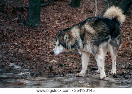 Portrait Of A Thoroughbred Animal Sled Dog Breed Alaskan Malamute. Adult Obedient Pet Beautiful Gray