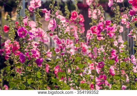 Beautiful Blooming Hollyhock Or Alcea Flowers In Garden.