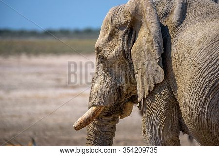 Close-up Of An African Elephant In Etosha National Park, Namibia.