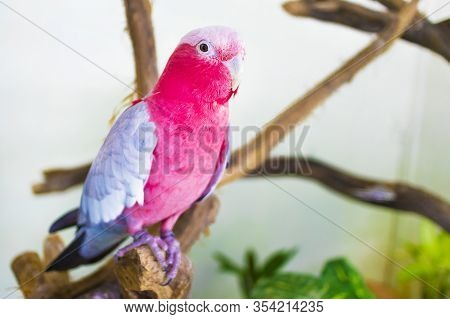 Portrait Of Pretty Beautiful Red, Pink And Grey Parrot (galah) Inside Home, Indoors. Close Up Photo