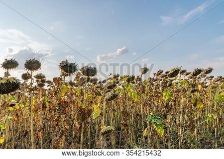 Beautiful Sunflower Field On A Sunny Summer Day. Sunflower Field With A Beautiful Sky. Organic Sunfl