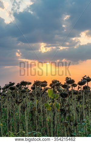 Beautiful Sunflower Field At Sunset. Ripe Sunflower Field At Sunset With A Beautiful Sky. Organic Ri