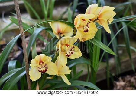 Yellow Cymbidium Orchids (boat Orchid) Flowers Blooming In The Greenhouse. Macro. Orchid Pattern. Or