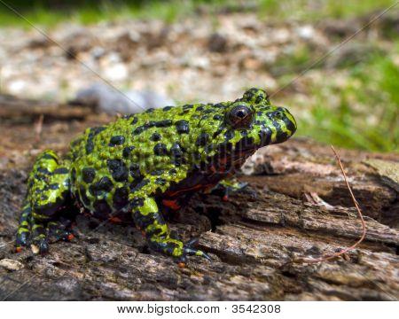 Far-Eastern Fire-Bellied Toad