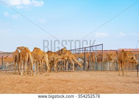 Group Of Arabian Camel Or Dromedary In Sand Desert Safari In Summer Season With Blue Sky Background