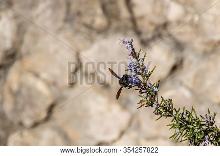 A Xylocope Violet (xylocopa Violacea) Honey Bee On A Flower Plant Pollinating It
