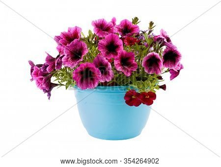 A potted purple petunia planted isolate on white.