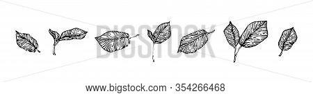 Hand Drawn Hazel Leaves Set, Ink Drawing Sketch Vector Illustration, Black Isolated Botanical Illust