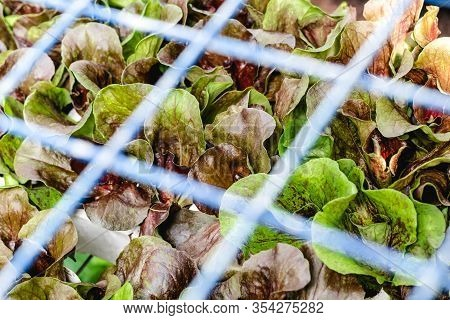 Green And Red Lettuce Growing Behind A Metal Grid At The Vegetable Market.
