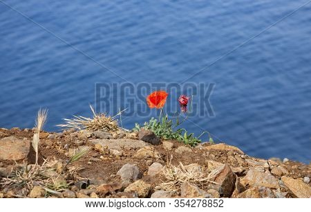 Image Shows Some Poppy Wild Poppy Flower And Blue Water