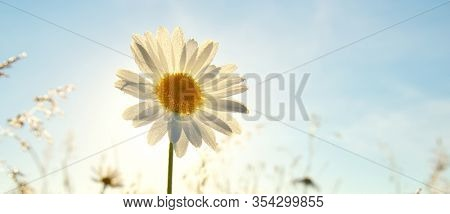 Spring daisy portrait and sunshine. Nature composition.