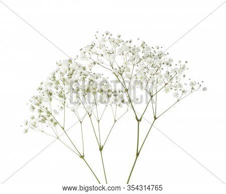 Twigs with small white flowers of Gypsophila (Baby's-breath)  isolated on white background.