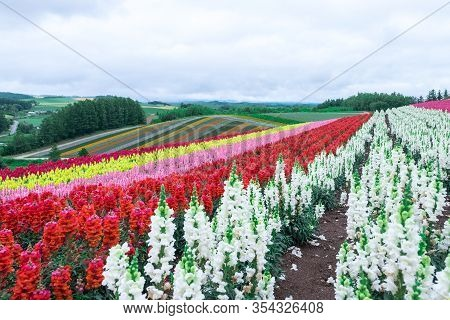 Beautiful Rainbow Flower Fields Hills, Colorful Lavender Flowers Farm,rural Garden Against White Clo