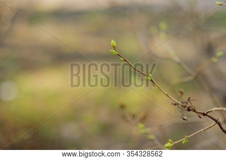 Buds On Tree Branches In March. Tree Branch With Buds Background, Spring. Image Spring Tree Branch O