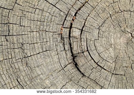 Texture Of Rough Surface Felled Tree Weathered With Annual Rings. Concept Of Long Life Longevity Agi