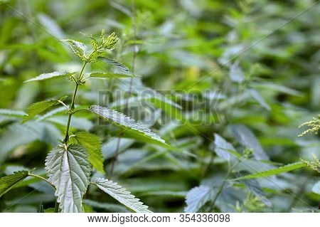 Detailed Picture Of The Fresh And Green Stinging Nettle. Focus On One Plant Sprout. Urtica Dioica, O