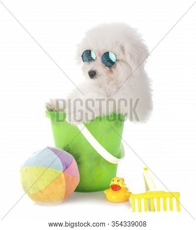 Young Bichon Frise In Front Of White Background