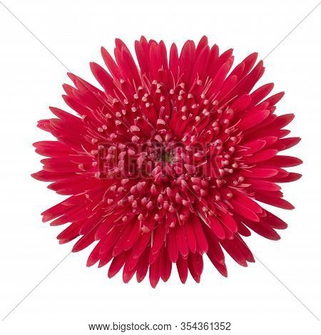 Gerbera Daisy Flower (gerbera Jamesonii) Isolated On White Background.