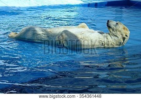 A Polar Bear, A Northern Bear, A Umka (lat. Ursus Maritimus), The Worlds Largest Land Predator. Pola