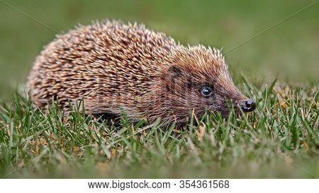 Spiny Hedgehog In The Autumn Forest. Ordinary Hedgehog, Or European Hedgehog (lat. Erinaceus Europae