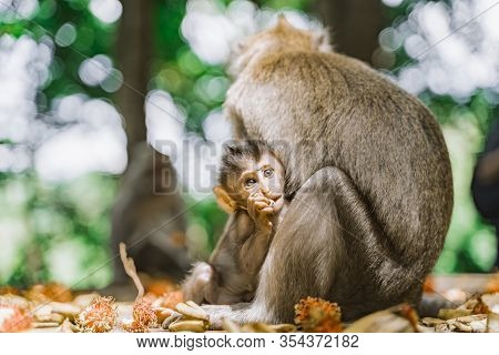Funny Baby Monkey And His Mom Are Eating Rambutans In The Jungle. Baby Monkey Hiding Behind His Mom.