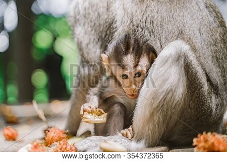 Funny Baby Monkey And His Mom. Baby Monkey Looks Directly At The Camera Holding A Piece Of Fruit In
