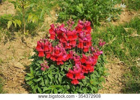 Close Up Of Best Annual Flowers, Red Antirrhinum Majus,  Flowers, Commom Snapdragon Flowering Plants