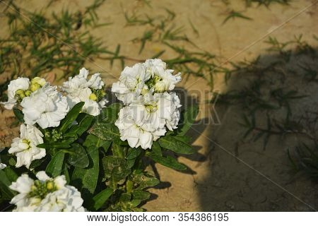 Close Up Of White Stock Flowers ( Matthiola Incana), Also Known As Ten Week Stock With Green Leaves
