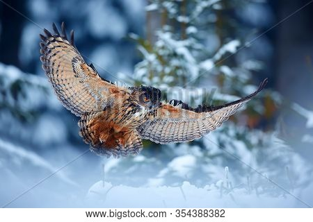 Eagle Owl - Bubo Bubo,  Landing On Snowy Branch In Forest. Action Winter Scene From Nature.one Of Th