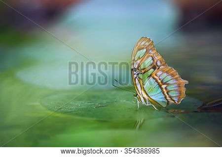 Malachite Butterfly (siproeta Stelenes) On The Green Leaf. Beautiful Colorful Butterfly From Costa R
