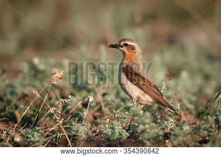 Northern Wheatear Or Wheatear (oenanthe Oenanthe). The Female Carries Food On The Nest. Wild Animal