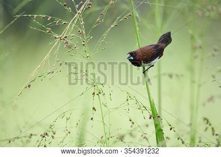 White-rumped Munia Or White-rumped Mannikin (lonchura Striata) Small Bird From Asia. Bird On Grass S