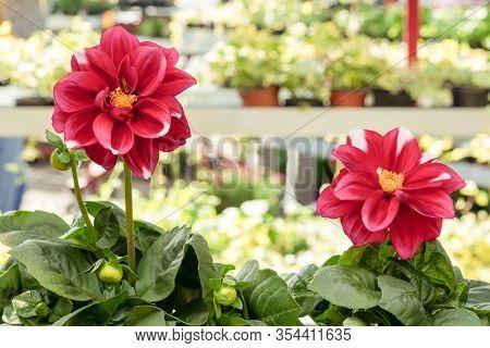 Vibrant Dahlias At The Spring Floral Market. Urban Garden Center.