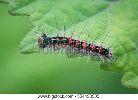 Macro Picture Of A Very Beautiful Caterpillar With Various Colors And Hairs On A Leaf