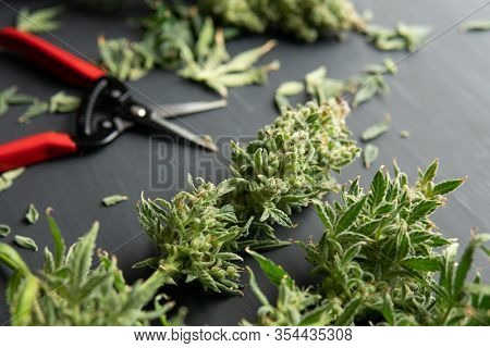 Mans Hands Trimming Marijuana Bud. Growers Trim Cannabis Buds. Trim Before Drying. Growers Trim Thei